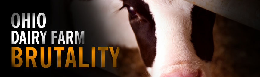 Nathan Runkle, Mercy for Animals, on the Conklin Dairy Farm undercover cruelty investigation