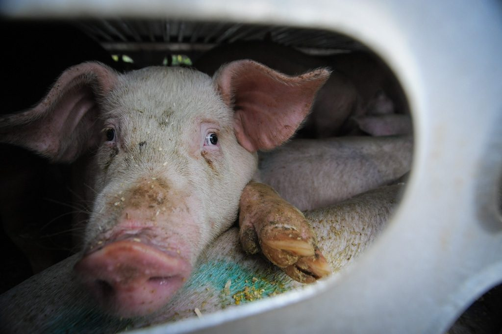 The Farmed Animal Slaughter Industry in Canada: Learning Realities and Facts, and Considering Ethics
